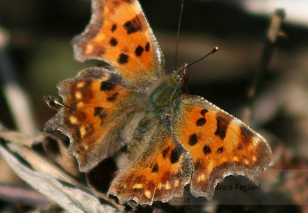 POLYGONIA C-ALBUM; Comma;