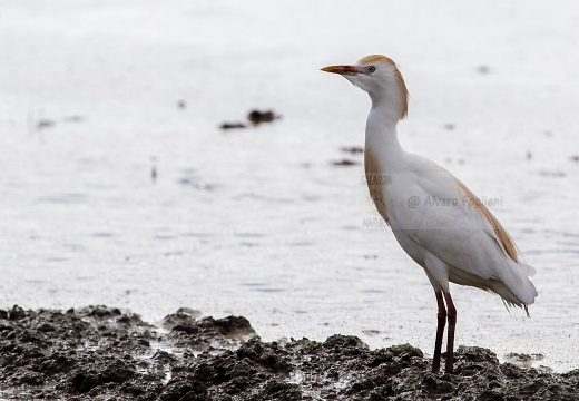 AIRONE GUARDABUOI, Cattle Egret, Bubulcus ibis