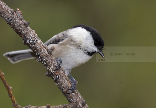 CINCIA BIGIA; Willow Tit; Parus montanus