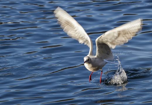 GABBIANO COMUNE; Black-headed Gull; Larus ridibundus