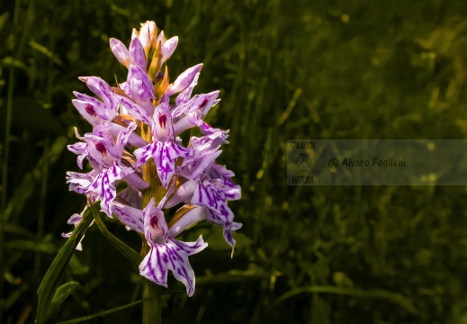 Dactylorhiza maculata subsp. fuchsii - Oltrepò pavese (PV)
