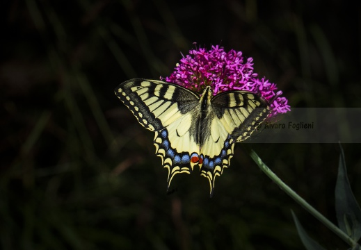 MACAONE; Swallowtail; Papilio machaon