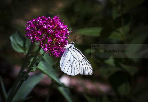 PIERIDE DEL BIANCOSPINO; Black-veined white; Aporia crataegi