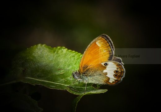 ARCANIA; Pearly heath; Coenonympha arcania