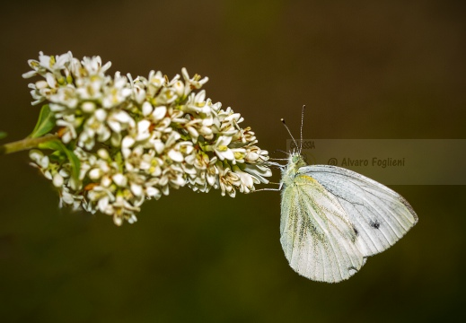 CAVOLAIA MINORE; Small white; Pieris rapae