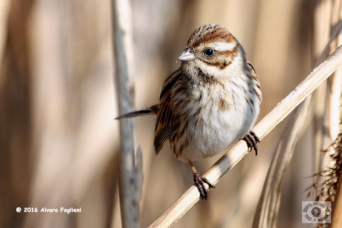 MIGLIARINO DI PALUDE - Reed Bunting - Emberiza schoeniclus - Luogo: Oasi dell'Alberone - (BG) - Autore: Alvaro
