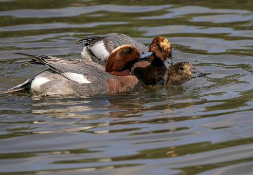 FISCHIONE; Wigeon; Anas penelope