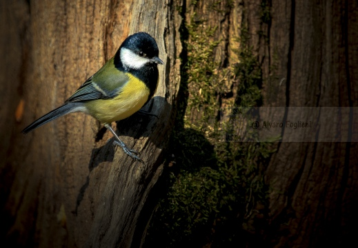 CINCIALLEGRA; Great Tit; Parus major