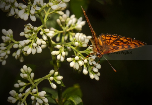PAFIA; Silver-washed fritillary; Argynnis paphia